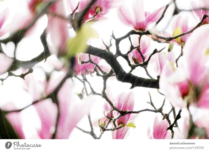 Backlight magnet foil 2 White Abstract Tree Magnolia plants Spring Plant Back-light Pink Red Light Background picture Blossom Blossom leave Transience Branch