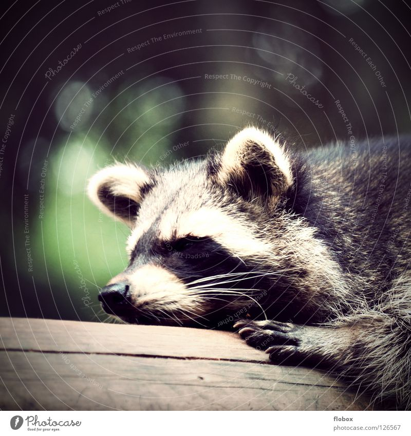 The Raccoons II Disheveled Zoo Animal Pelt Enclosure Captured Bushy Cage Land-based carnivore Cute Sleep Goof off Sloths Rest Mammal Boredom Bear racoon fuzzy