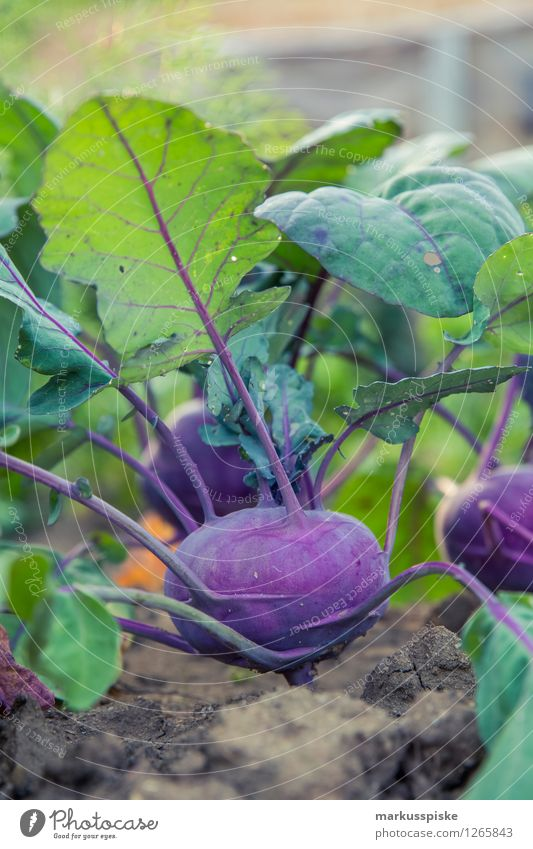 urban gardening red kohlrabi Food Vegetable Red cabbage Nutrition Organic produce Vegetarian diet Diet Fasting Healthy Eating Fitness Life Harmonious Well-being