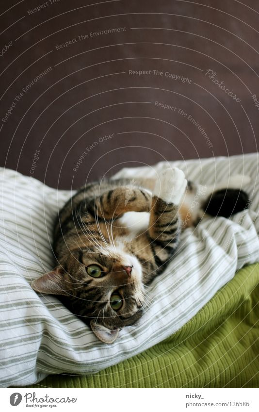 kitten is high Cat Bed Green Pelt Lovely Animal Pet Mammal putty nose eyes apauline