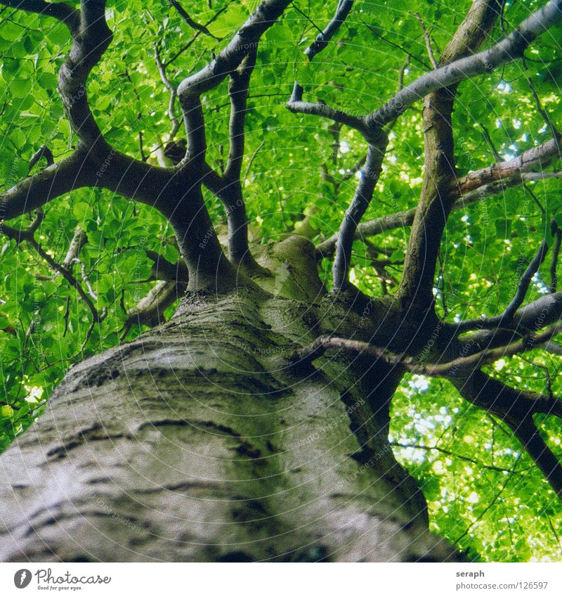 Nature Old Green Plant Tree Leaf Forest Growth Idyll Branch Tree trunk Twig Treetop Tree bark Leaf green Branched