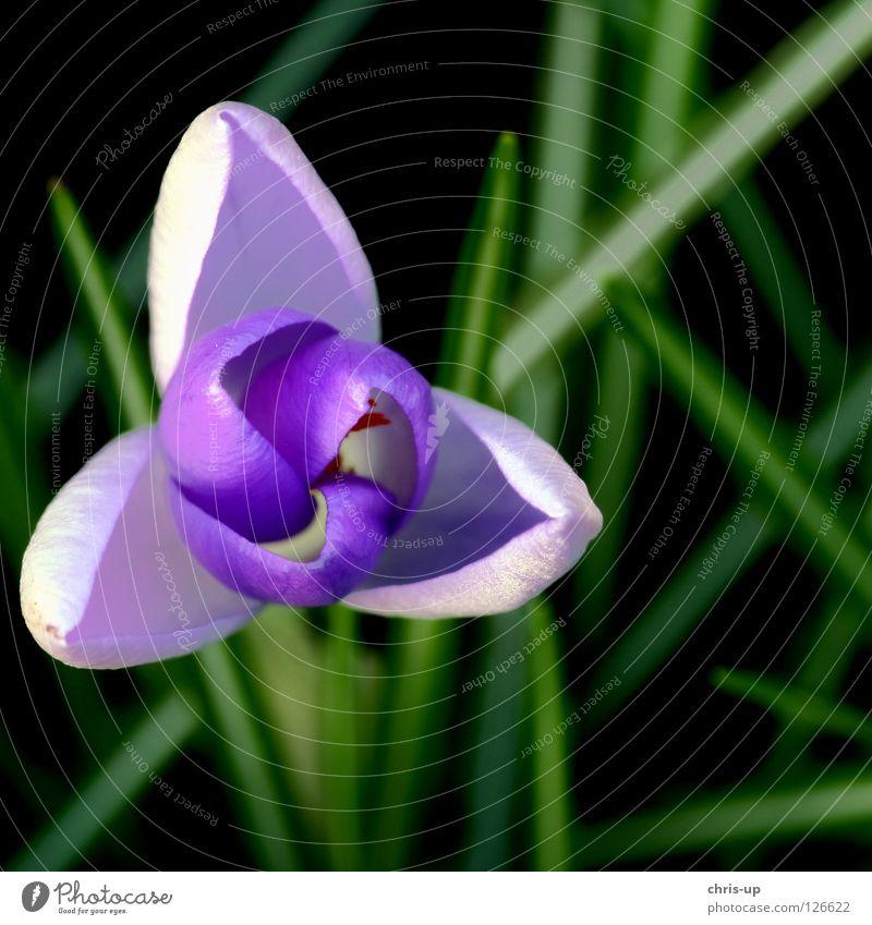 Nature Flower Green Summer Blossom Spring Garden Park Violet Pollen Crocus Montbretia Spring crocus