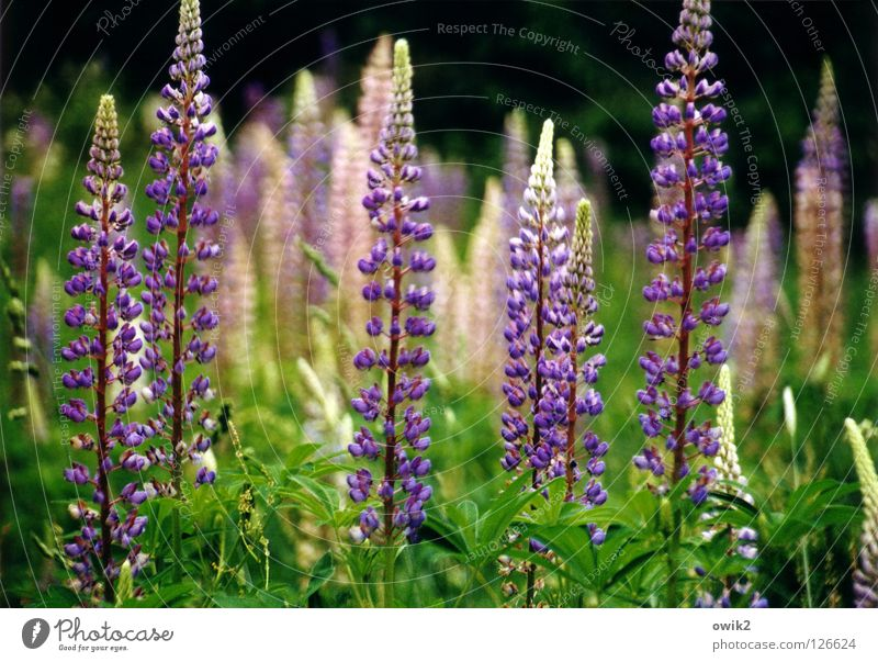 Wild Lupines Summer Environment Nature Landscape Plant Climate Beautiful weather Bushes Leaf Blossom Wild plant Lupine field Meadow Blossoming Fragrance