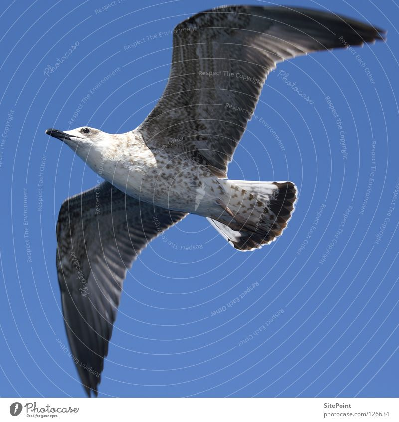seagull Seagull Worm's-eye view Square Gull birds Bird Flying Sky Blue Stomach