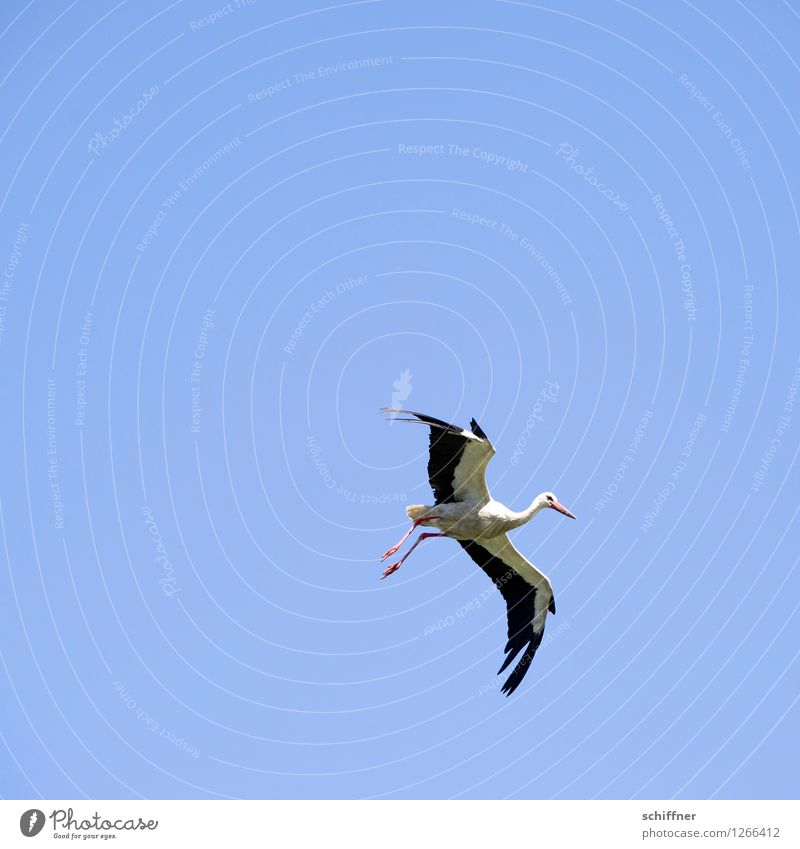 Spreedorado from the sky up... Animal Sky Sky only Cloudless sky Wild animal Bird 1 Flying Sailing Hover Stork Baby Birth Childhood wish Environment