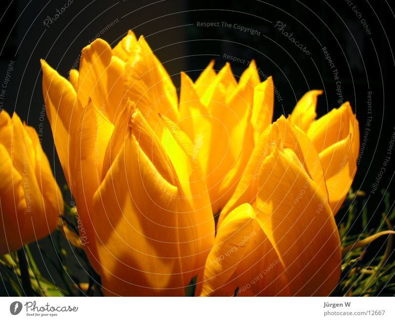 spring Tulip Yellow Flower Blossom Vase Light Nature Shadow bloom