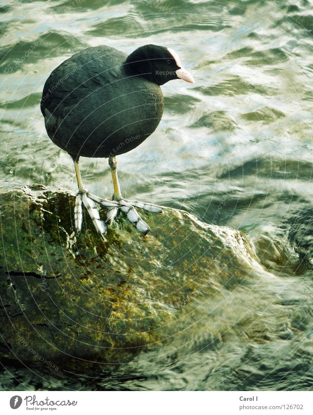 oversized feet Bird Large Stand Black Green Gale Beak Waves Undulating Lake Ocean Lakeside Feather Water wings Rescue Safety Dark Coot Barn fowl Feet Duck Stone