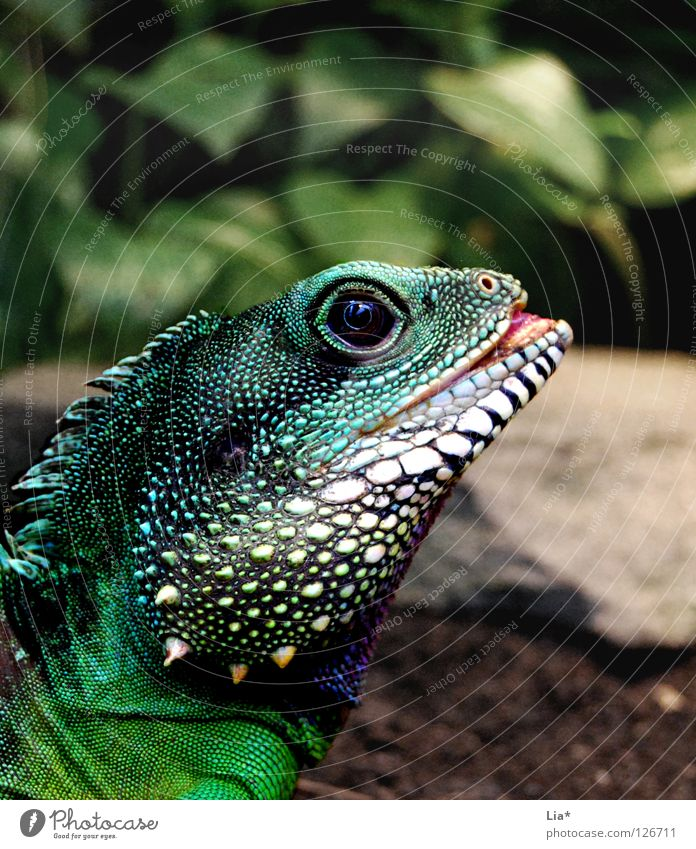 Exotic 2 Zoo Exceptional Colour Agamidae Water dragon Saurians Dragon Reptiles Dinosaur Iguana Tongue Spine Multicoloured Detail Looking Green Head Scales Eyes
