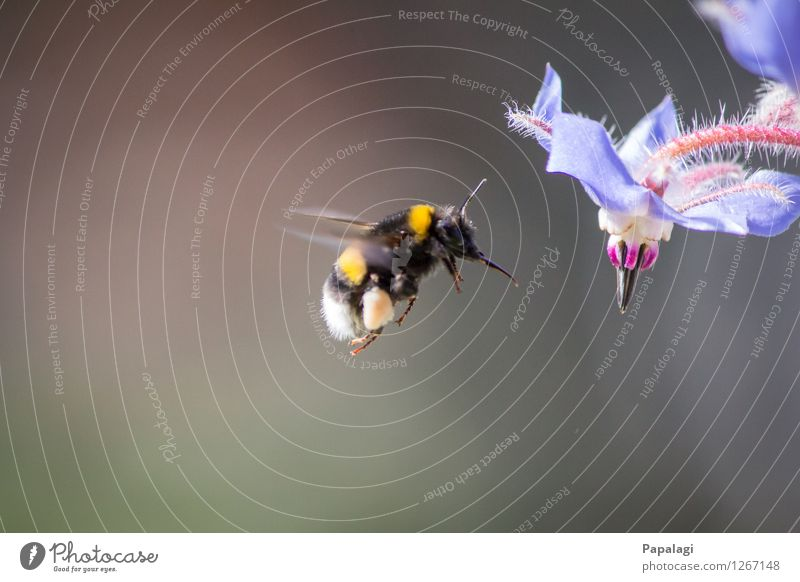 hover flight Nature Spring Summer Climate Beautiful weather Plant Blossom Animal Wild animal Bumble bee Insect 1 Flying Natural Environmental protection Park