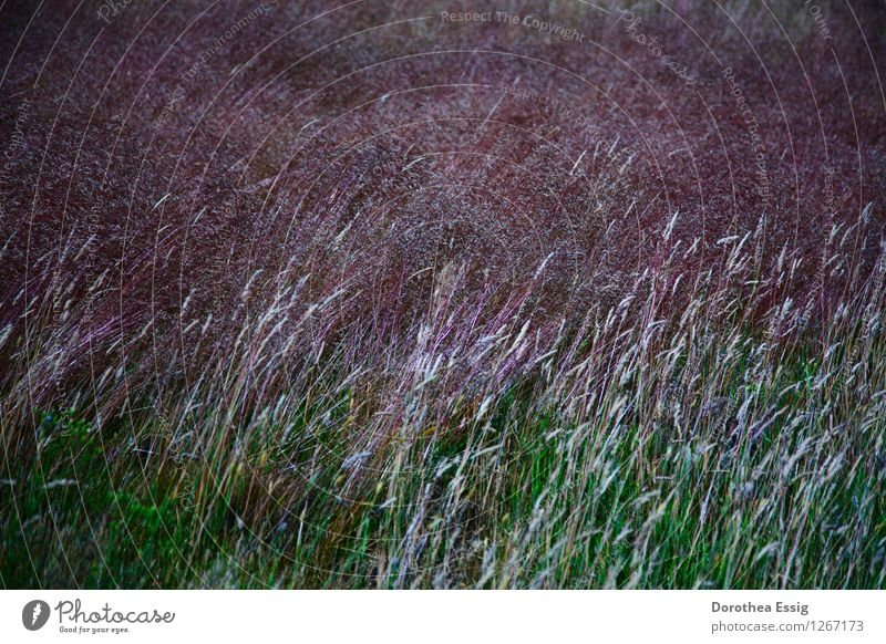 Nature Plant Summer Calm Meadow Grass Moody Island Blossoming