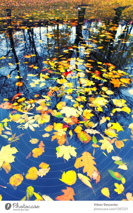 Autumn leaves floating in water Nature Plant Tree Leaf Forest Pond Lake River Bright Yellow Gold Colour fall October background colorful Seasons Puddle orange
