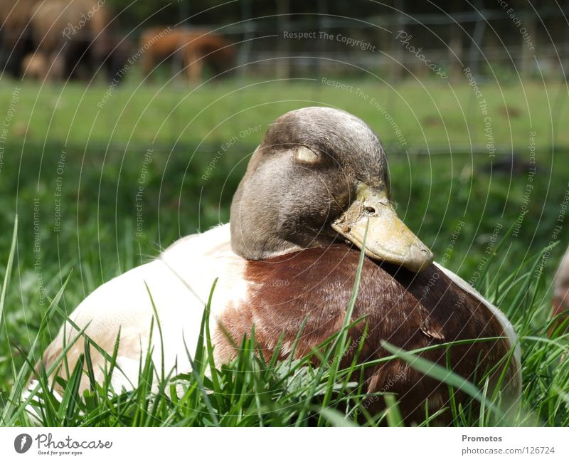 Sitting Duck Nature Bird Sleep Dream Contentment Exterior shot Animal Zoo sitting duck lazy sloth Close-up Be confident