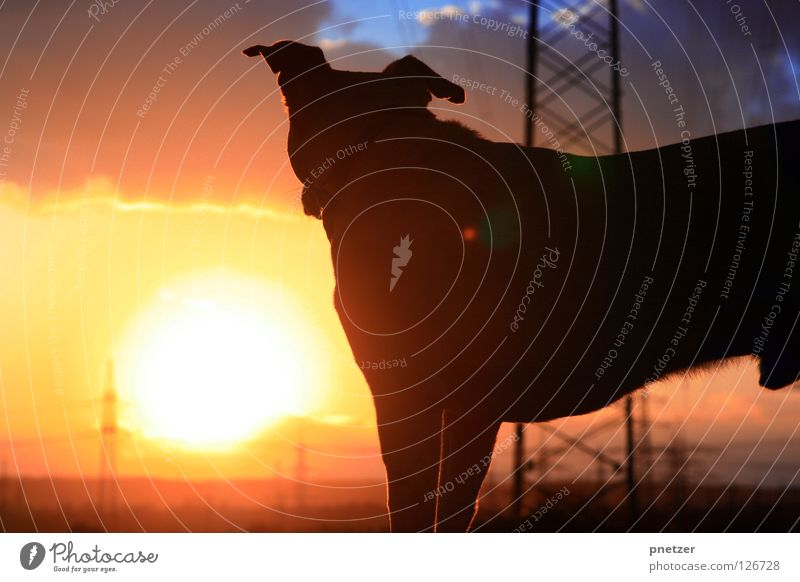 Well we're out there having fun... Dog Twilight Yellow Red Black Labrador Electricity Field To go for a walk Going Joy Animal Beautiful Sun Orange Silhouette