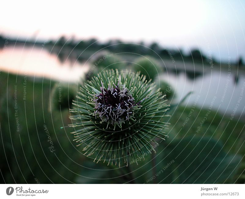 Nature Water Green Plant Coast Elbe Thistle