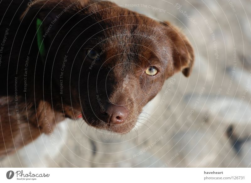 Glance / the gaze / Spojrzenie Dog Animal Animalistic Red Mammal Looking glance Style eyes brown