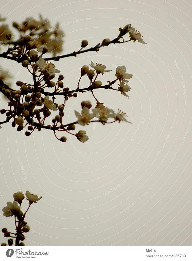 White Tree Blossom Spring Park Beginning Fresh New Asia Branch Japan Twig Bud Branchage Wake up Far East