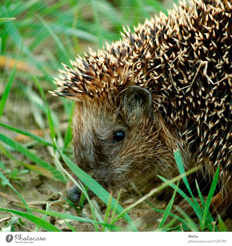 Hedgehogs, hedgehogs ... Grass Button eyes Thorny Pierce Defensive Animal Spring Mammal Dangerous Ear Protection prick Looking Observe free wilderness Free
