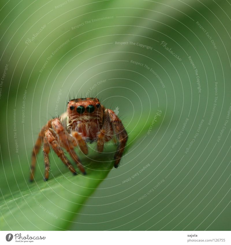 Green Leaf Eyes Animal Legs Brown Wild animal Spider Tiny hair Spider legs Jumping spider