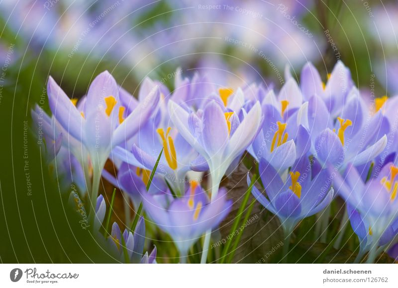 and yet spring is coming Spring Crocus Growth Blossom Pink Violet Yellow Grass Background picture Blossom leave Meadow Multiple Macro (Extreme close-up)