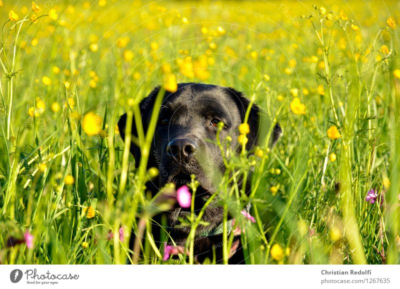 summer meadow Nature Landscape Plant Meadow Animal Pet Dog 1 Colour photo Multicoloured Exterior shot Day Central perspective Looking
