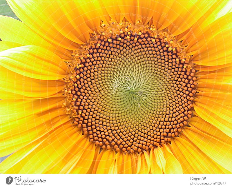 Nature Leaf Yellow Blossom Sunflower