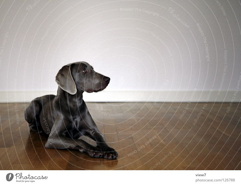 square Dog Parquet floor Wood Wall (building) Floor covering Mammal Weimaraner Room Contentment Looking away Copy Space right Bright background Animal portrait