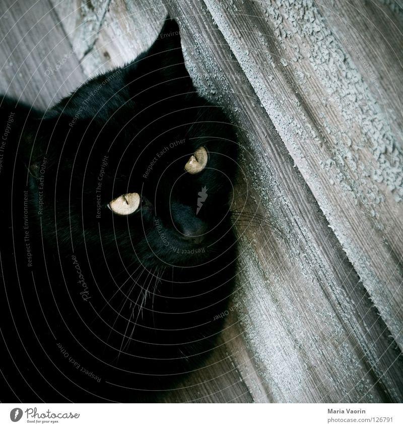 Cat Animal Black Eyes Wait Pet Mammal Domestic cat Whisker Panther Purr Meow Cat eyes Snarl