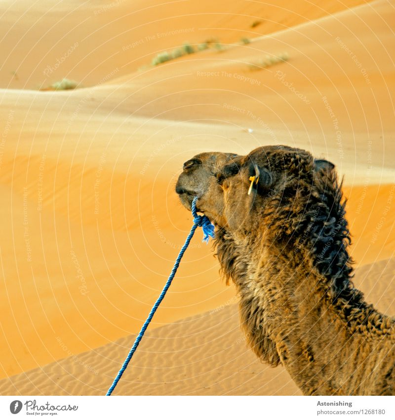 camel's head Environment Nature Sand Warmth Drought Grass Bushes Hill Desert Erg Chebbi Merzouga Morocco Animal Farm animal Animal face Pelt 1 Looking Wait Soft