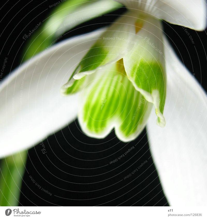 Nature White Green Plant Flower Black Dark Spring Blossom Lamp Growth Illuminate Stripe Striped Blossom leave Bell