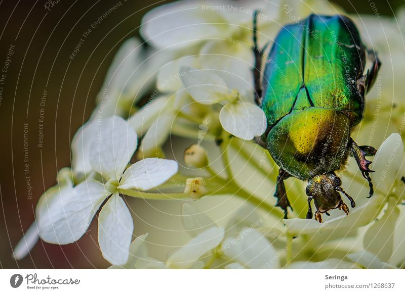 rose chafer Nature Landscape Plant Animal Summer Garden Park Meadow Field Beetle Animal face 1 Flying Crawl Rose beetle Insect Colour photo Multicoloured