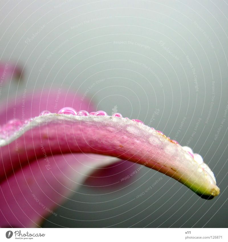 Lilly Pearl II Lily Flower Blossom Blossom leave Detail Pink White Green Curved Undulating Swing Elegant Beautiful Plant Transience Glittering Rain Wet