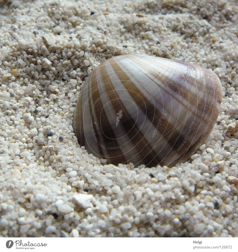striped shell lies in the sand Mussel Beach Find Stripe Striped Pattern Ocean Grain of sand Gravel Pebble Coast Chic Beautiful Vacation & Travel White Brown