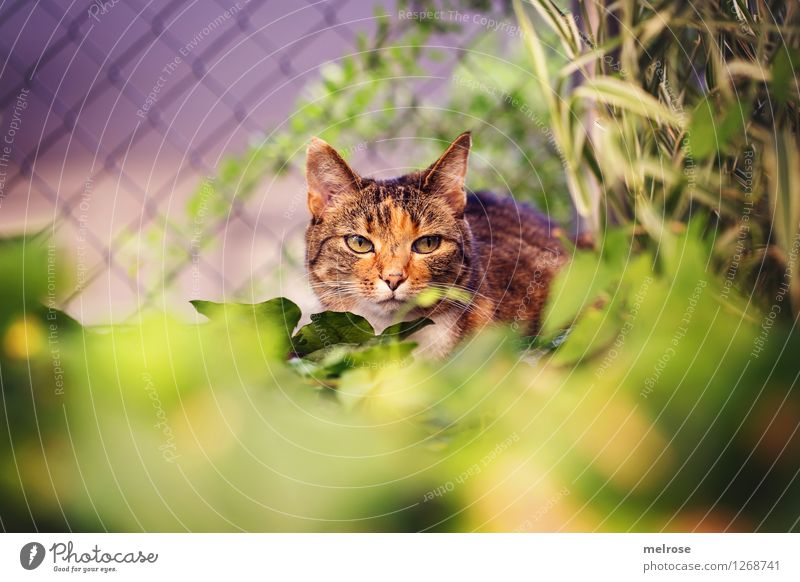 on the lookout ... Elegant Beautiful Nature Summer Beautiful weather Plant Grass Bushes Leaf Garden Pet Cat Animal face Pelt 1 Wire netting fence Observe Crouch