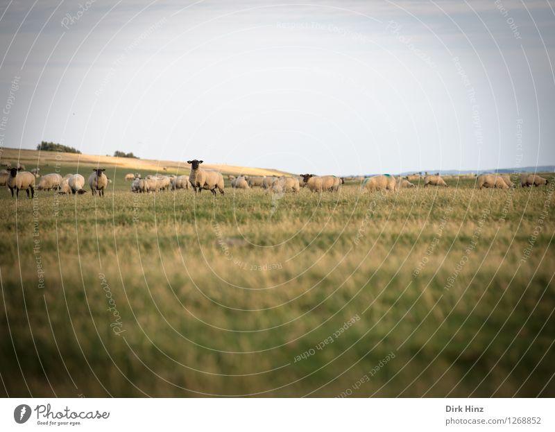 Dike sheep near Friedrichskoog Vacation & Travel Tourism Trip Far-off places Freedom Summer vacation Ocean Environment Nature Landscape Plant Animal Sky Horizon
