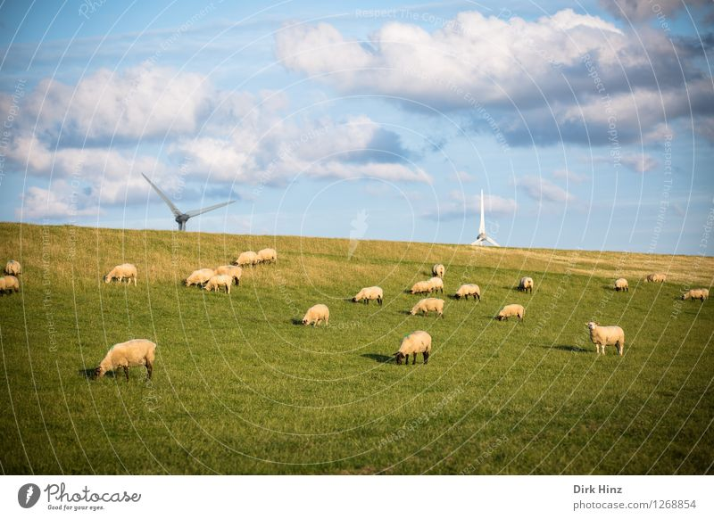 Sheep & Wind Energy Relaxation Vacation & Travel Tourism Trip Far-off places Freedom Summer vacation Sunbathing Environment Nature Landscape Sky Clouds