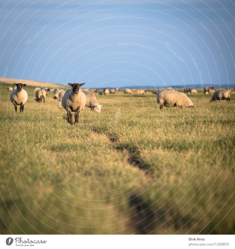 Sheep at the dike of Friedrichskoog Relaxation Vacation & Travel Tourism Trip Far-off places Freedom Summer Summer vacation Sun Animal face Group of animals