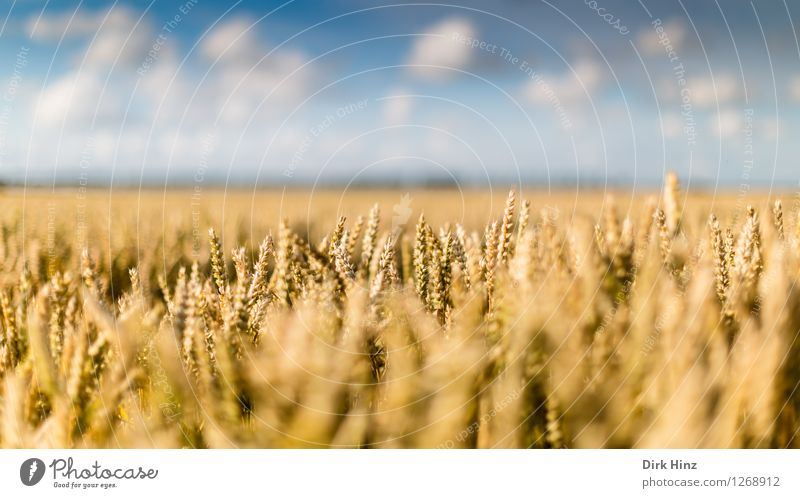 Agriculture close by Environment Nature Landscape Plant Sky Clouds Horizon Summer Beautiful weather Agricultural crop Field Infinity Natural Blue Gold