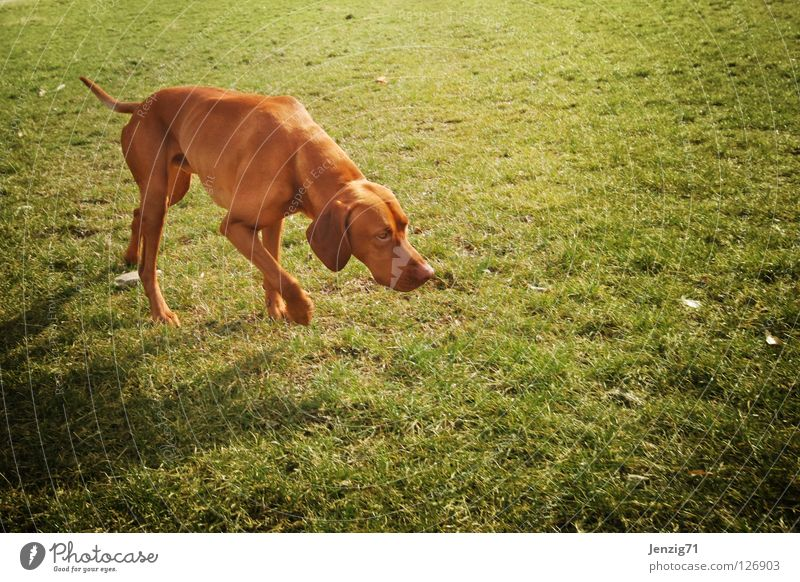 Just follow your nose. Dog Meadow Grass Search Pursue Odor Animal tracks Tracks Pet Elapse To go for a walk Mammal Nature scent persecutor Walk the dog Movement