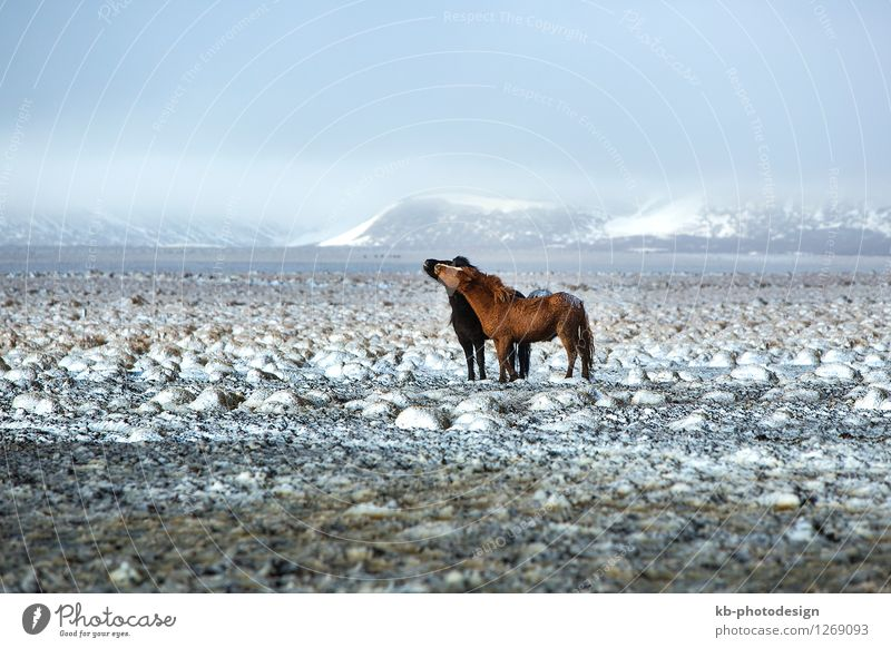 Two Icelandic horses in snowy winter landscape Winter Wind Wild animal Horse 2 Animal Kissing Vacation & Travel Running Iceland pony Iceland ponies Icelander