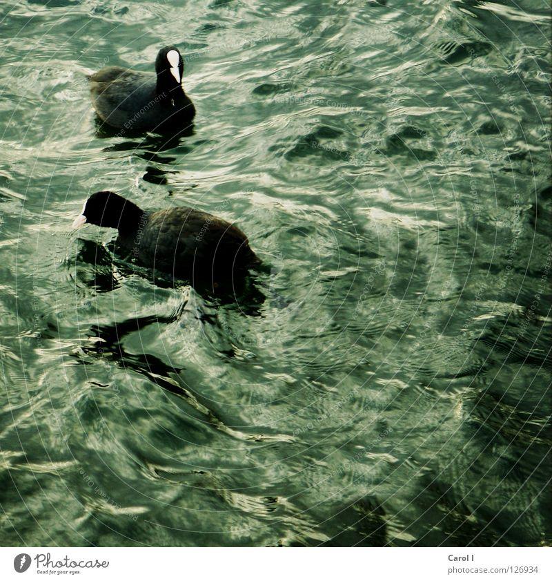 Blue Water Green White Animal Black Dark Life Lake 2 Bird Swimming & Bathing Together Waves Wind Pair of animals