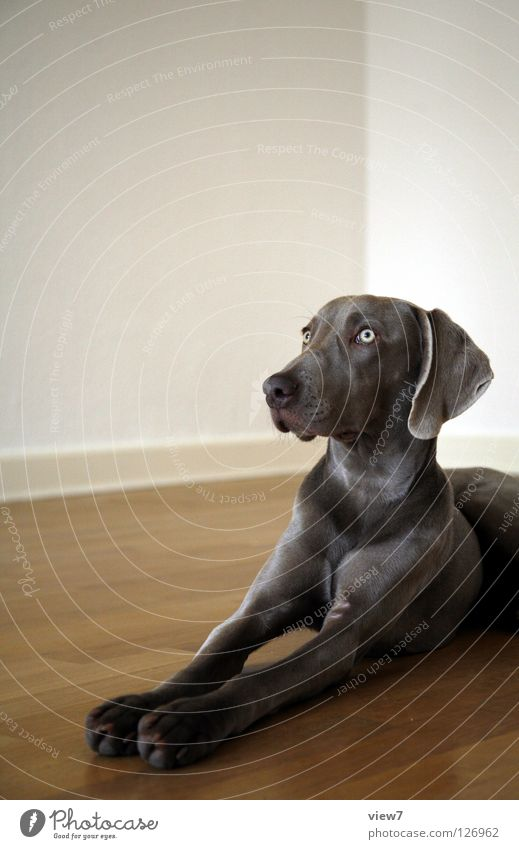 Look out! Dog Weimaraner Mammal Parquet floor Floor covering Wall (building) White Gray Paw Beautiful Cute Lie Looking flews Observe Pride Noble Nose Eyes