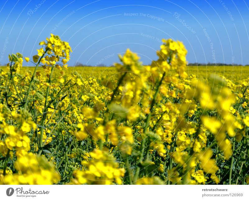 rapsfeld Canola Oilseed rape flower Plant Blossom Yellow Field Structures and shapes Summer Agriculture Maturing time Background picture Bio-fuel Diesel