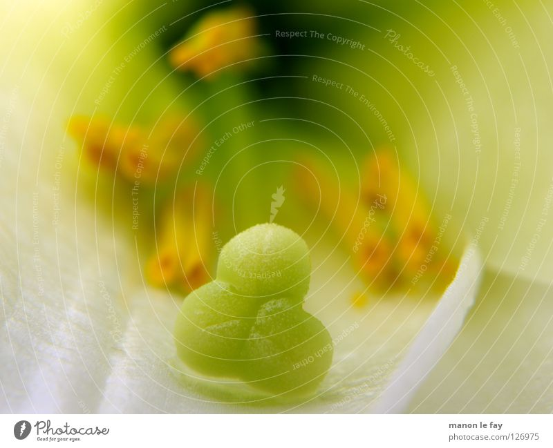 Nature White Flower Green Plant Yellow Life Blossom Lighting Delicate Obscure Whimsical Pollen Lily Stamen Pistil