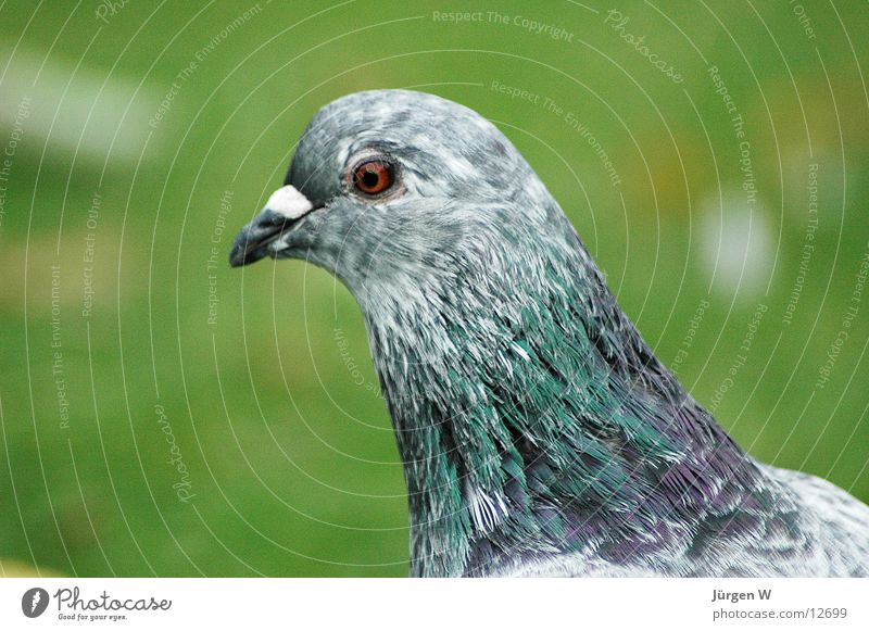 Green Eyes Gray Grass Park Bird Feather Pigeon Beak