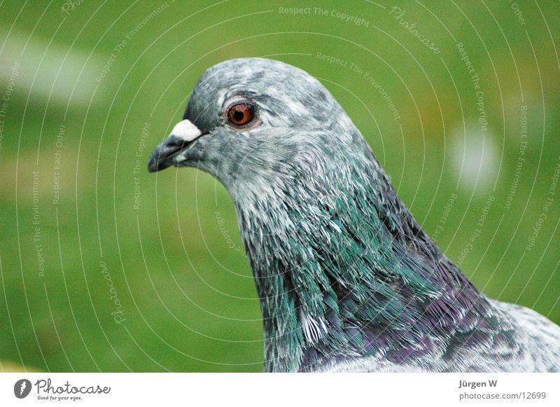 Green Eyes Gray Grass Park Bird Feather Pigeon Beak