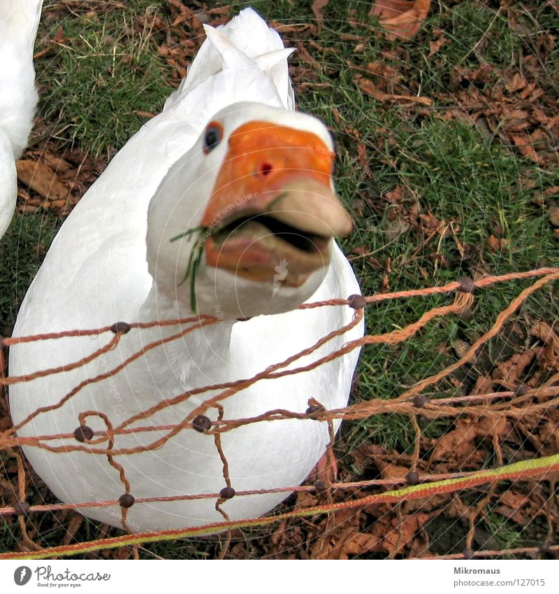 White Red Animal Meadow Nutrition Bird Feather Curiosity Farm Stupid Americas Watchfulness Meat Beak Smart Goose