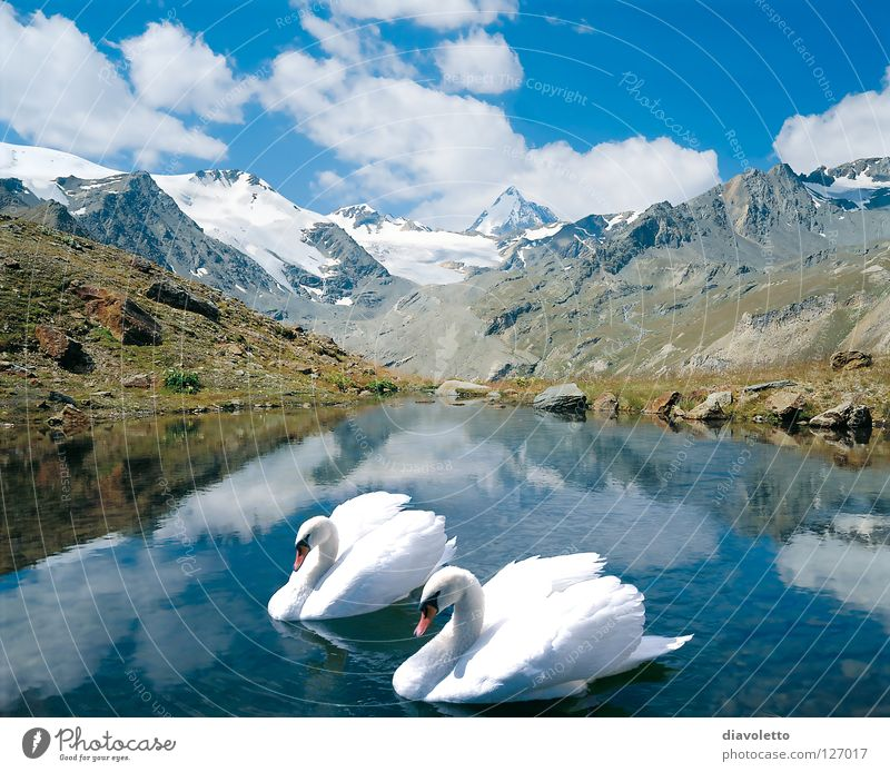 Only together... Mountain lake Swan Bird Lake Together Body of water Peak Romance Beautiful Plant Animal White Clouds Summer Nature Love Innocent Poultry Soft