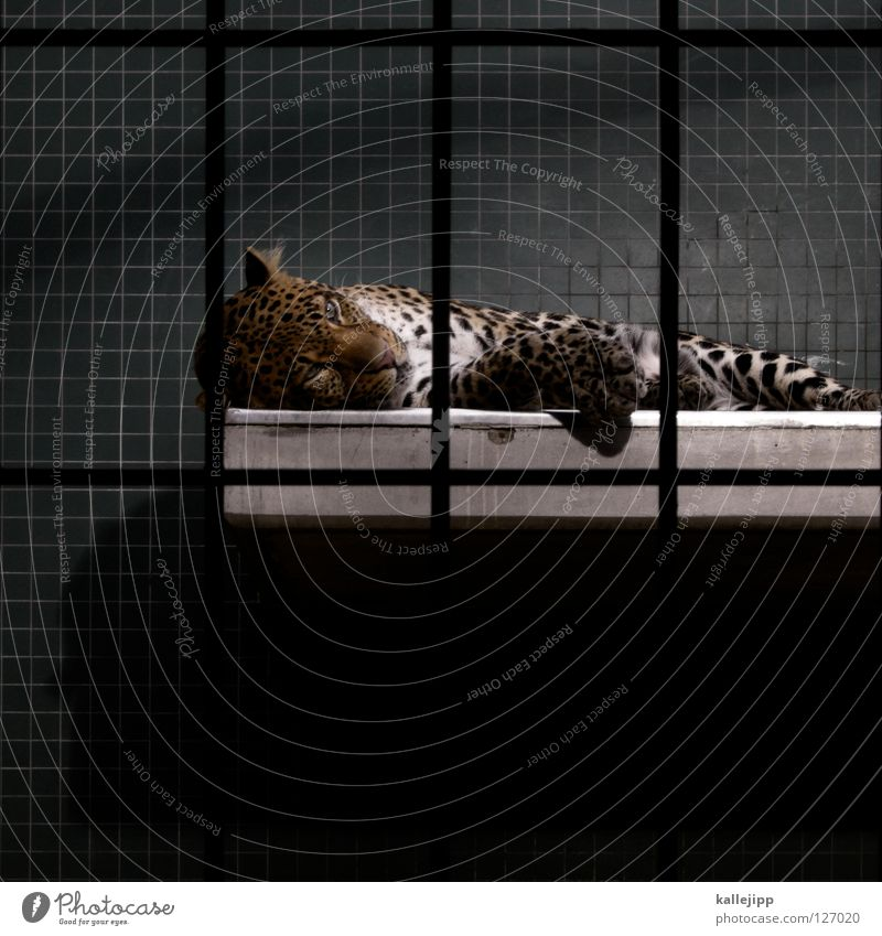 lived out Zoo Cage Captured Living thing Anguish Land-based carnivore Big cat Cat Panther Carnivore Pattern Grating Mammal Sleep Tile Lie Copy Space bottom Calm