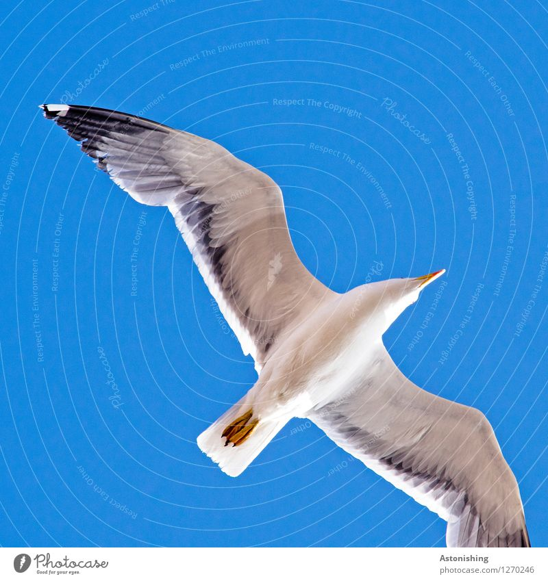 Seagull in flight III Animal Air Sky Cloudless sky Summer Weather Beautiful weather Warmth Essaouira Morocco Wild animal Bird Animal face Wing 1 Flying Looking