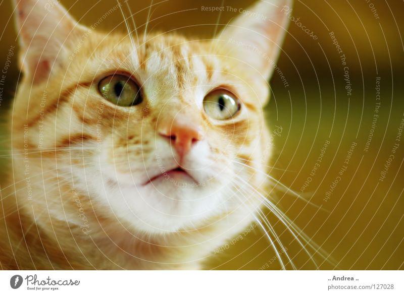 Cat Red Eyes Nose Pelt Mammal Domestic cat Whisker